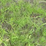 芝桜の中のスギナを駆除した除草剤を使わない方法!体験談