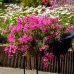 芝桜の鉢植えの植え替えは毎年したほうが良い?時期はいつ頃で方法は?
