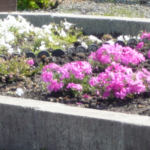 芝桜 色別に植えたい!違う種類(色)が混じらない方法 画像あり