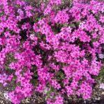 芝桜の植え方で防草シートを実体験!間隔やポット苗の植え方も詳しく説明!